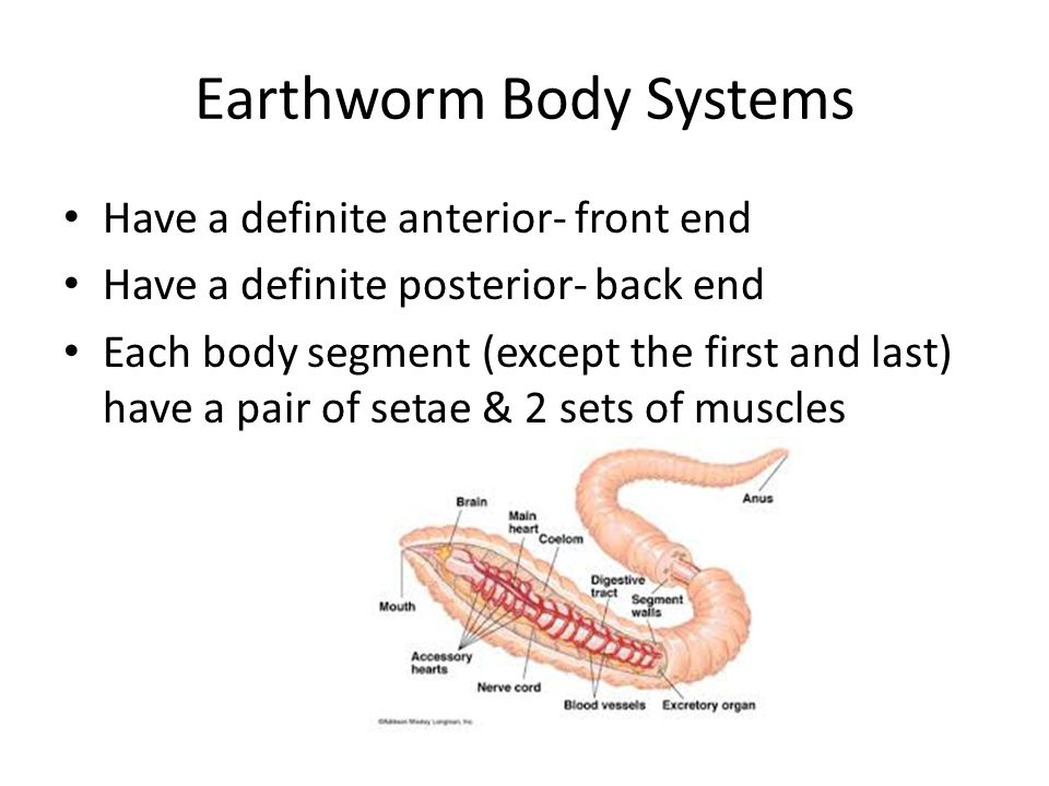 Earthworm Body Systems Have a definite anterior- front end Have a definite posterior- back end Each body segment (except the first and last) have a pair of setae & 2 sets of muscles