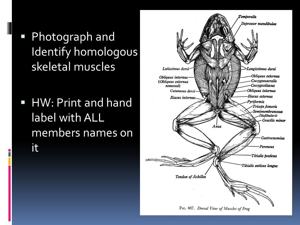  Photograph and Identify homologous skeletal muscles  HW: Print and hand label with ALL members names on it