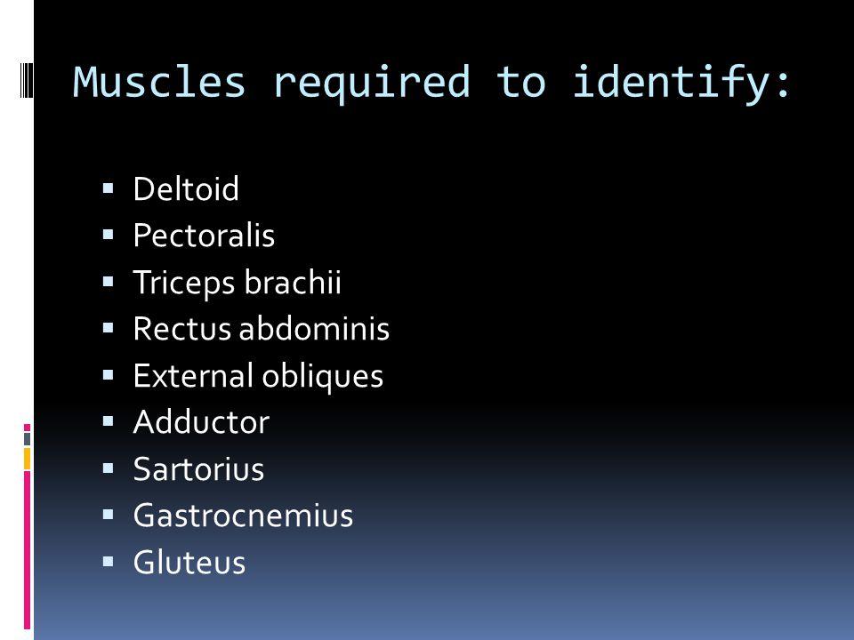 Muscles required to identify:  Deltoid  Pectoralis  Triceps brachii  Rectus abdominis  External obliques  Adductor  Sartorius  Gastrocnemius  Gluteus
