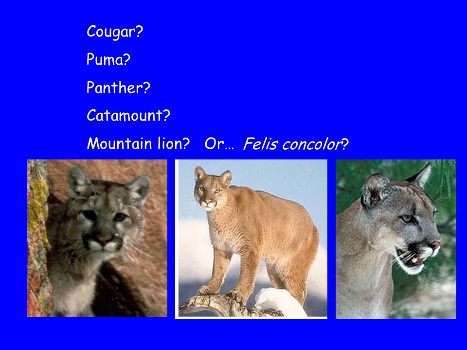 Canis lupus = Grey wolf Canis latrans = Coyote