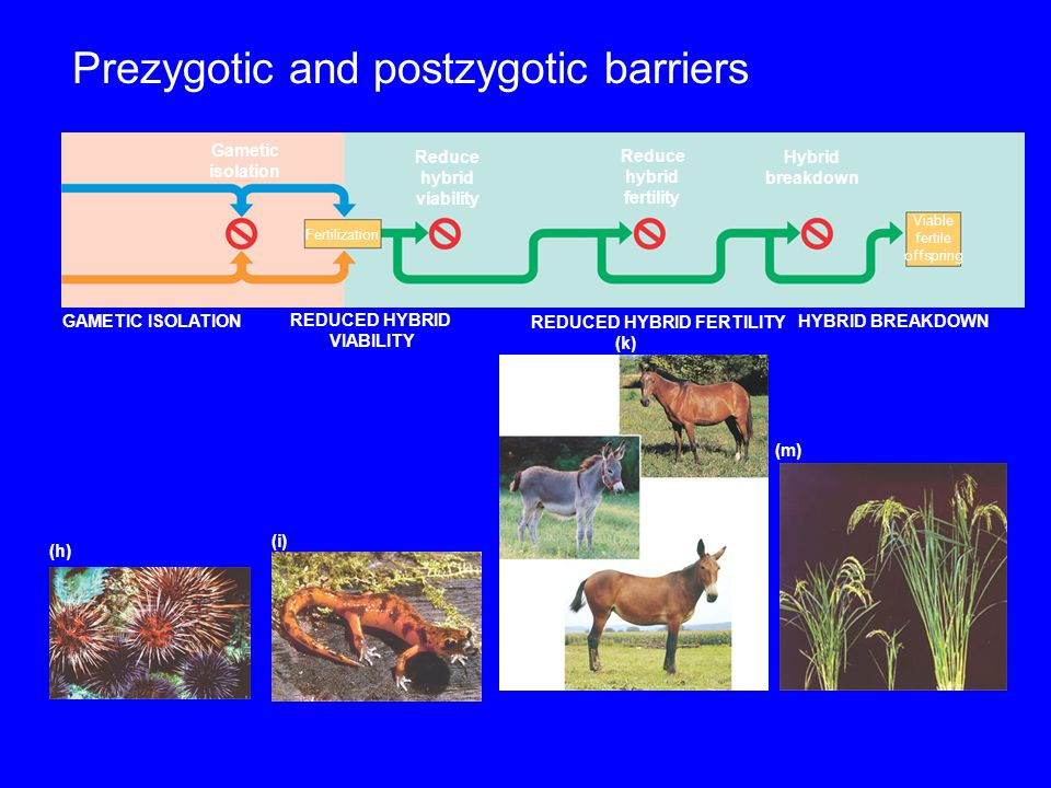 Prezygotic barriers impede mating or hinder fertilization if mating does occur Individuals of different species Mating attempt Habitat isolation Tempo
