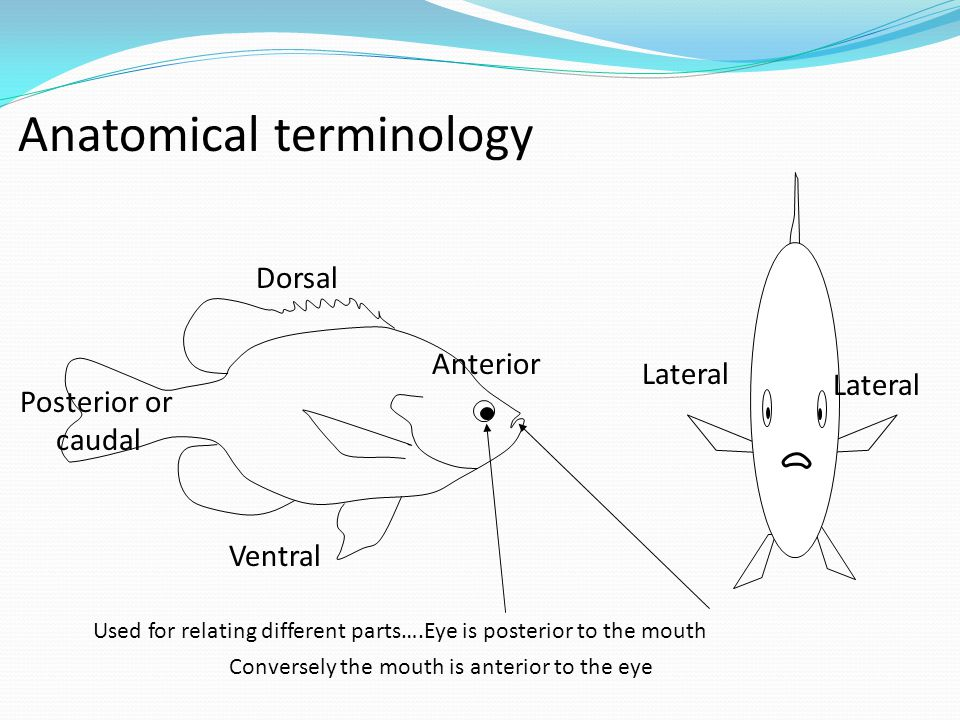Dorsal Anatomical terminology Ventral Posterior or caudal Anterior Lateral Used for relating different parts….Eye is posterior to the mouth Conversely the mouth is anterior to the eye