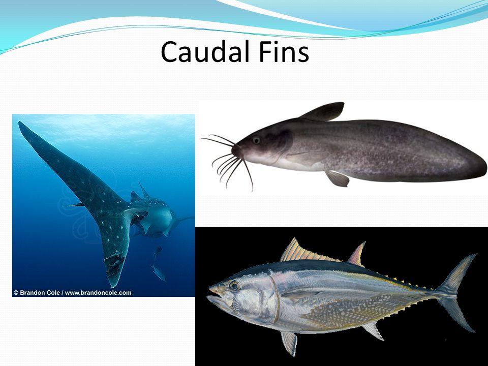 Caudal Fins