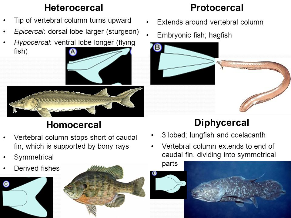 Heterocercal Tip of vertebral column turns upward Epicercal: dorsal lobe larger (sturgeon) Hypocercal: ventral lobe longer (flying fish) Protocercal Extends around vertebral column Embryonic fish; hagfish Homocercal Vertebral column stops short of caudal fin, which is supported by bony rays Symmetrical Derived fishes Diphycercal 3 lobed; lungfish and coelacanth Vertebral column extends to end of caudal fin, dividing into symmetrical parts