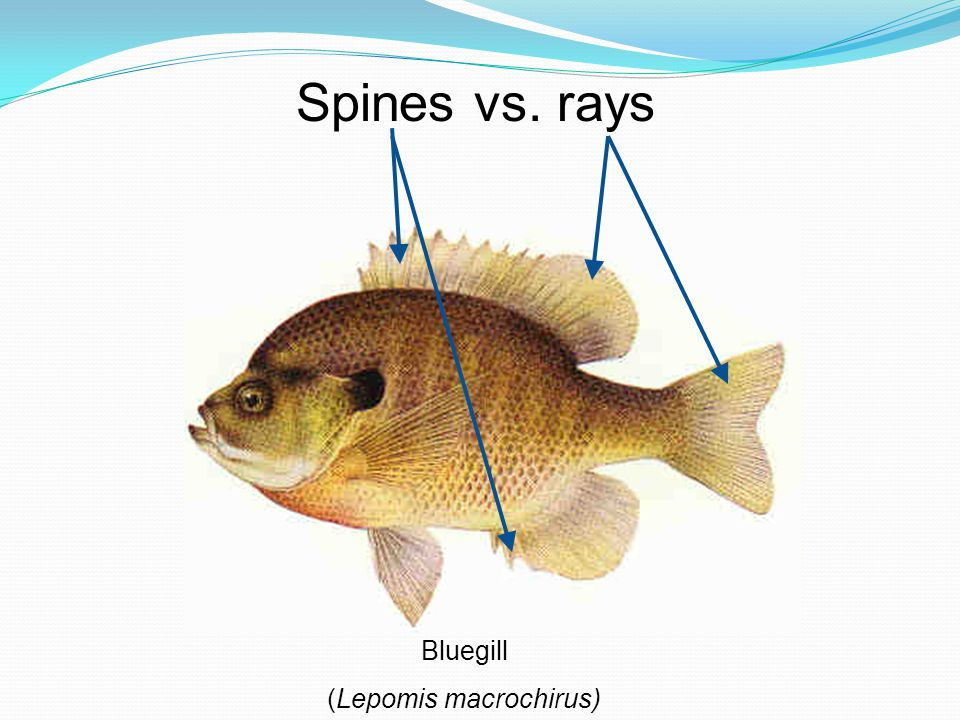 Spines vs. rays Bluegill (Lepomis macrochirus)