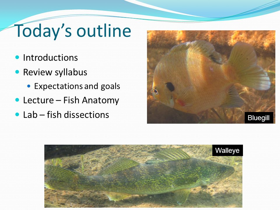 Today's outline Introductions Review syllabus Expectations and goals Lecture – Fish Anatomy Lab – fish dissections Walleye Bluegill