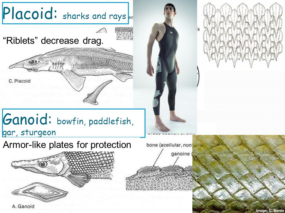 Placoid: sharks and rays Riblets decrease drag.