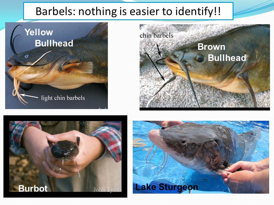 Barbels: nothing is easier to identify!! Yellow Bullhead Brown Bullhead Burbot Lake Sturgeon
