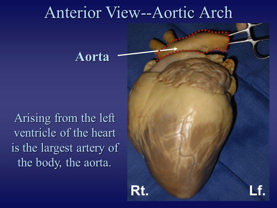 Anterior View--Aortic Arch Brachiocephalic trunk (innominate artery) Rt.Lf. Lf. common carotid