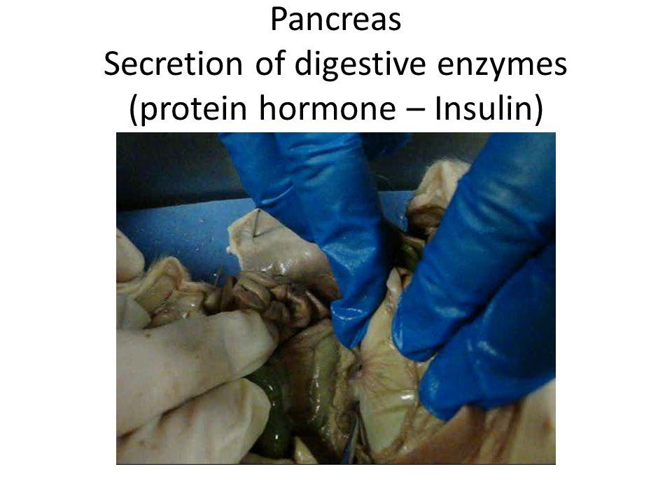 Pancreas Secretion of digestive enzymes (protein hormone – Insulin)