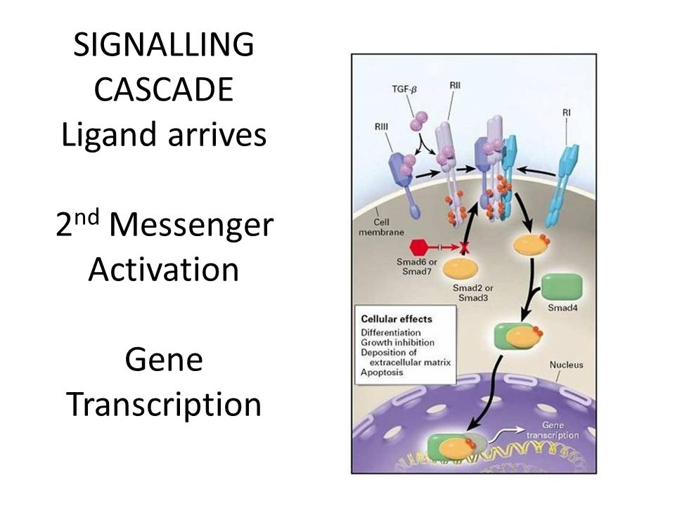 SIGNALLING CASCADE Ligand arrives 2 nd Messenger Activation Gene Transcription