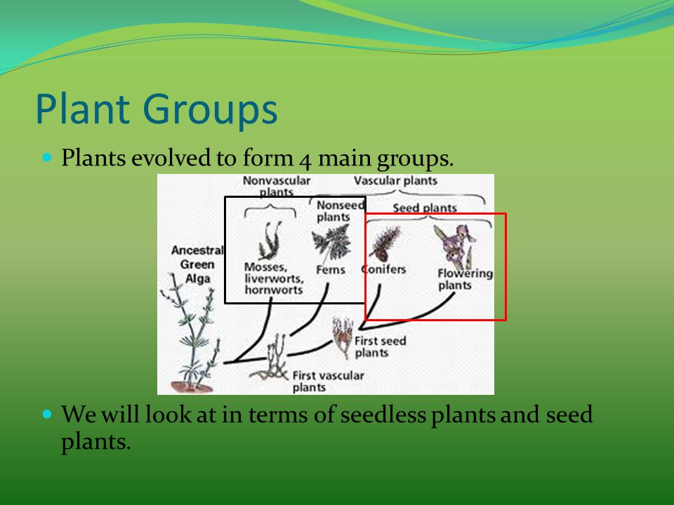 Plant Groups Plants evolved to form 4 main groups. We will look at in terms of seedless plants and seed plants.
