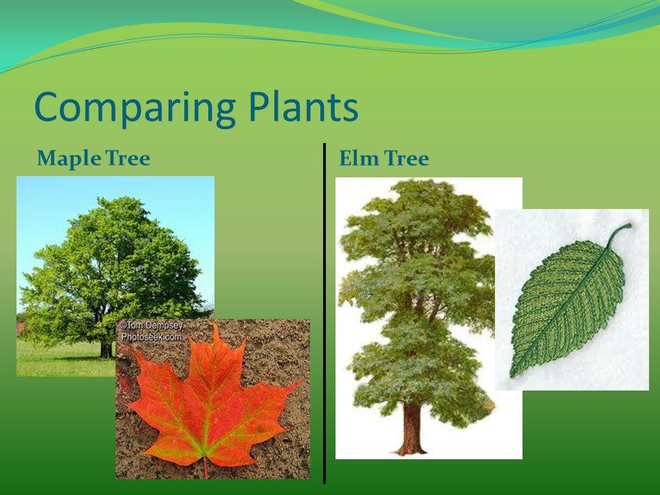 Comparing Plants Maple Tree Elm Tree