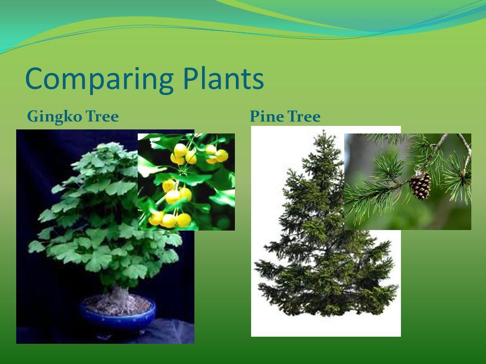 Comparing Plants Gingko Tree Pine Tree