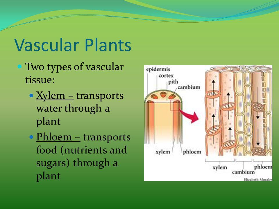 Vascular Plants Two types of vascular tissue: Xylem – transports water through a plant Phloem – transports food (nutrients and sugars) through a plant