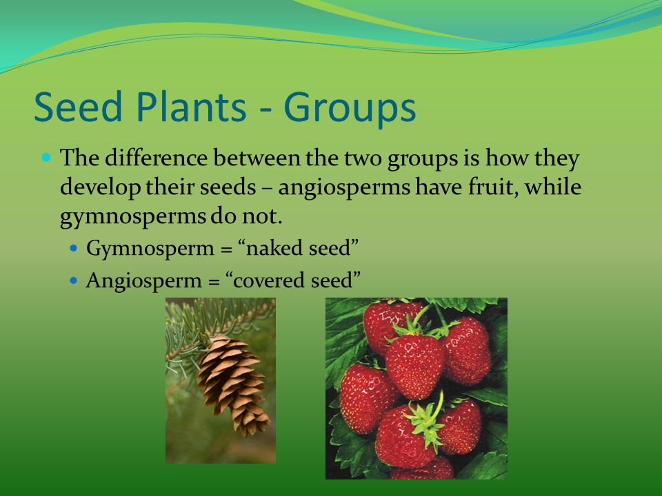 Seed Plants - Groups The difference between the two groups is how they develop their seeds – angiosperms have fruit, while gymnosperms do not. Gymnosp