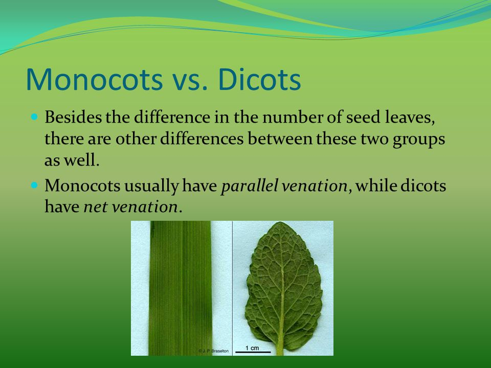 Monocots vs. Dicots Besides the difference in the number of seed leaves, there are other differences between these two groups as well. Monocots usuall