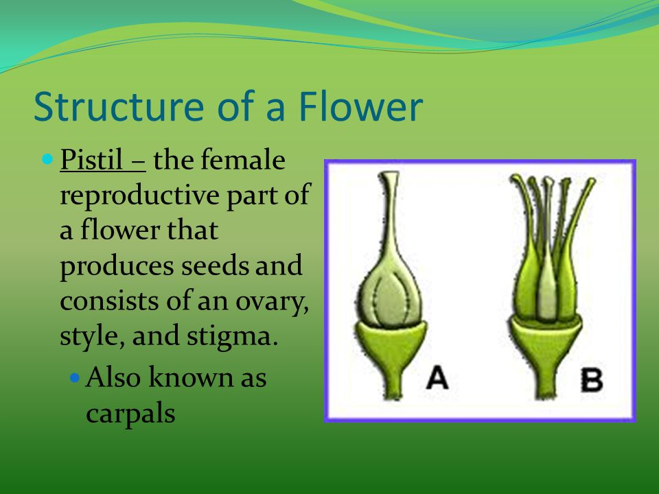 Structure of a Flower Pistil – the female reproductive part of a flower that produces seeds and consists of an ovary, style, and stigma. Also known as