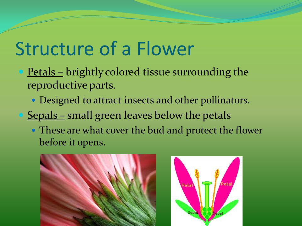 Structure of a Flower Petals – brightly colored tissue surrounding the reproductive parts. Designed to attract insects and other pollinators. Sepals –