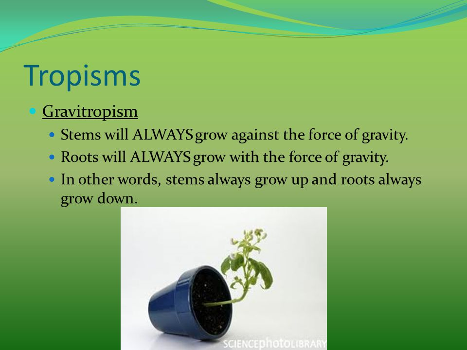 Tropisms Gravitropism Stems will ALWAYS grow against the force of gravity. Roots will ALWAYS grow with the force of gravity. In other words, stems alw