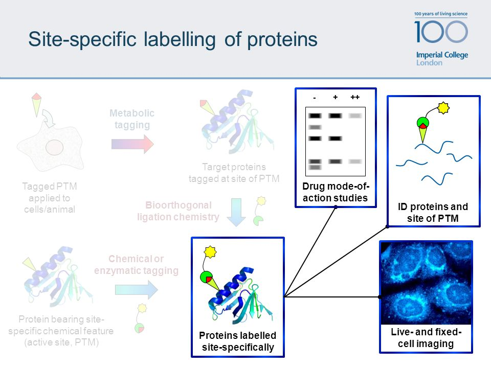 Site-specific labelling of proteins Metabolic tagging Target proteins tagged at site of PTM Protein bearing site- specific chemical feature (active si