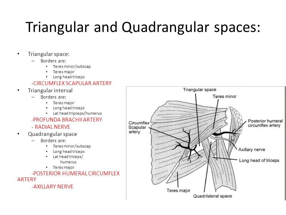 Triangular and Quadrangular spaces: Triangular space: – Borders are: Teres minor/subscap Teres major Long head triceps -CIRCUMFLEX SCAPULAR ARTERY Triangular interval – Borders are: Teres major Long head triceps Lat head tripceps/humerus - PROFUNDA BRACHII ARTERY - RADIAL NERVE Quadrangular space – Borders are: Teres minor/subscap Long head triceps Lat head triceps/ humerus Teres major -POSTERIOR HUMERAL CIRCUMFLEX ARTERY -AXILLARY NERVE