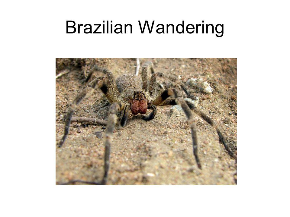 Brazilian Wandering