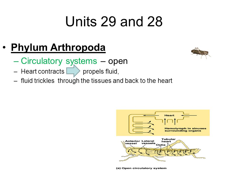Units 29 and 28 Phylum Arthropoda –Circulatory systems – open –Heart contracts propels fluid, –fluid trickles through the tissues and back to the heart