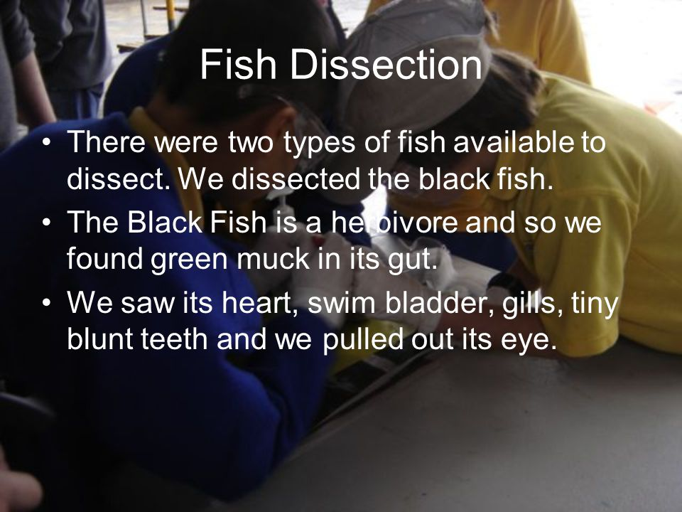 Fish Dissection There were two types of fish available to dissect.