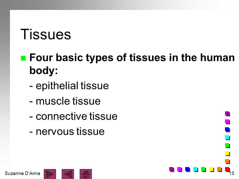 Suzanne D'Anna13 Tissues n Four basic types of tissues in the human body: - epithelial tissue - muscle tissue - connective tissue - nervous tissue