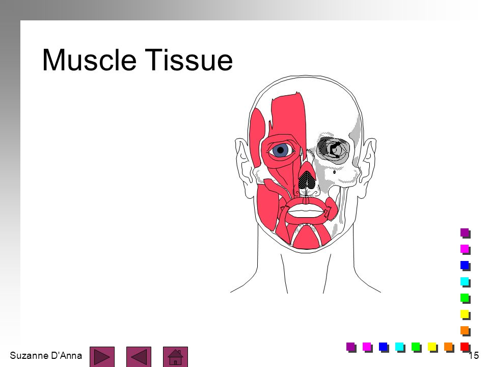 Suzanne D'Anna15 Muscle Tissue