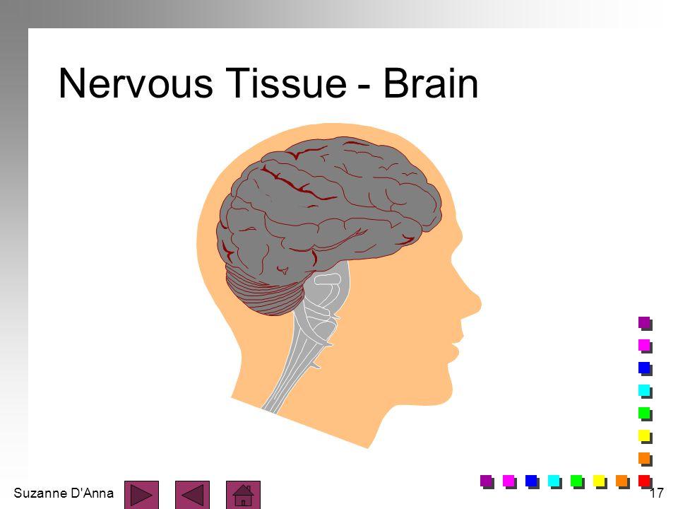 Suzanne D'Anna17 Nervous Tissue - Brain