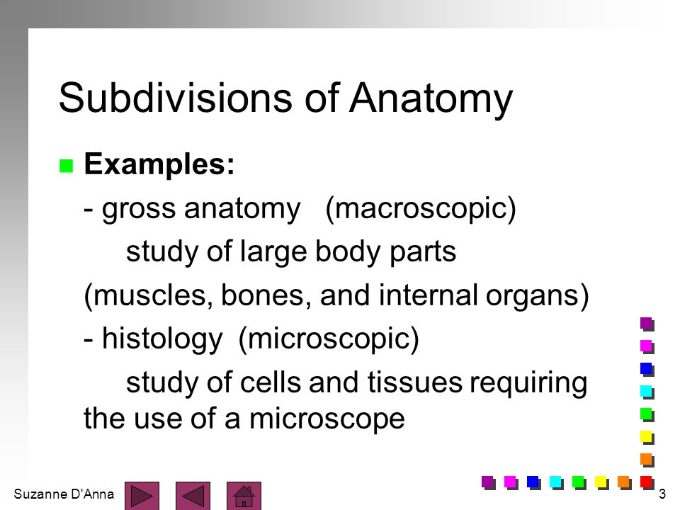 Suzanne D'Anna3 Subdivisions of Anatomy n Examples: - gross anatomy (macroscopic) study of large body parts (muscles, bones, and internal organs) - hi