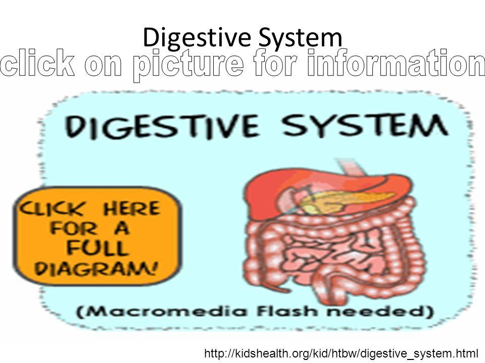 Digestive System http://kidshealth.org/kid/htbw/digestive_system.html