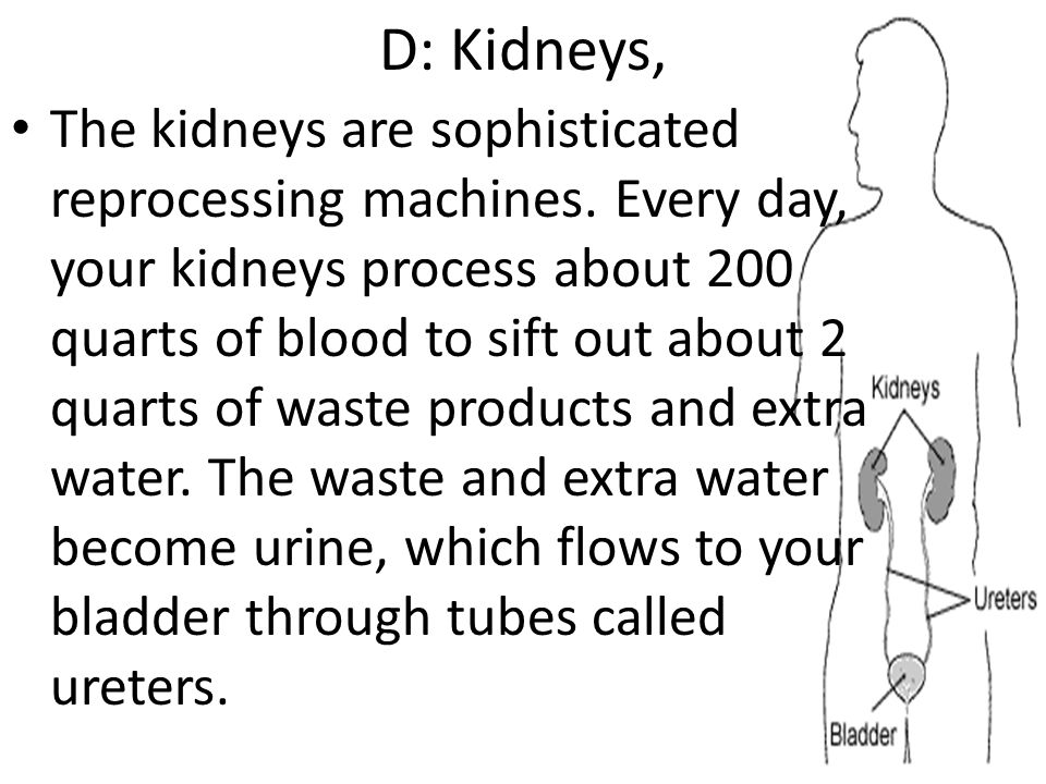 D: Kidneys, The kidneys are sophisticated reprocessing machines. Every day, your kidneys process about 200 quarts of blood to sift out about 2 quarts