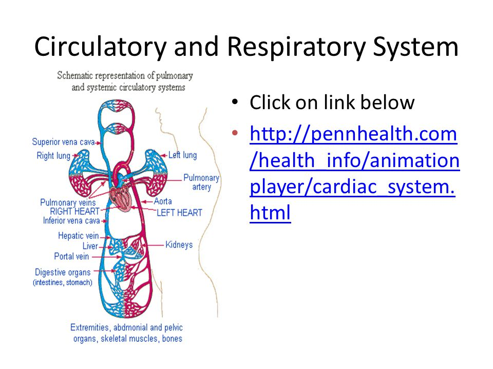 Circulatory and Respiratory System Click on link below http://pennhealth.com /health_info/animation player/cardiac_system. html http://pennhealth.com