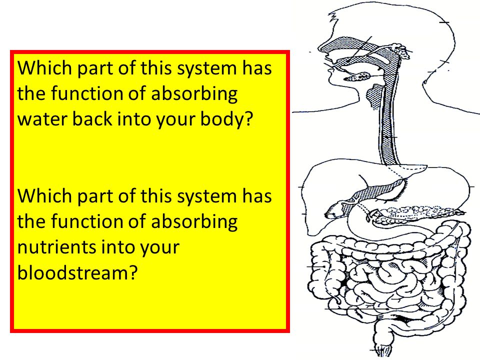 Which part of this system has the function of absorbing water back into your body? Which part of this system has the function of absorbing nutrients i