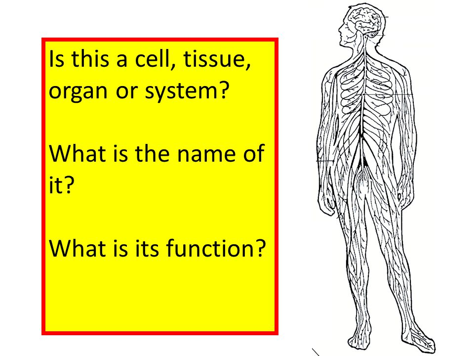 Is this a cell, tissue, organ or system? What is the name of it? What is its function?