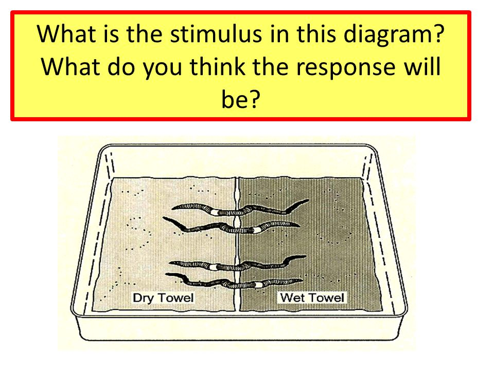 What is the stimulus in this diagram? What do you think the response will be?