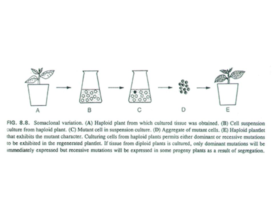 Successes of Somaclonal/Mutation Breeding Herbicide Resistance and Tolerance Resistance: able to break-down or metabolize the herbicide – introduce a new enzyme to metabolize the herbicide Tolerance: able to grow in the presence of the herbicide – either ↑ the target enzyme or altered form of enzyme –Most successful application of somaclonal breeding have been herbicide tolerance –Glyphosate resistant tomato, tobacco, soybean (GOX enzyme) –Glyphosate tolerant petunia, carrot, tobacco and tomato (elevated EPSP (enolpyruvyl shikimate phosphate synthase) ) But not as effective as altered EPSP enzyme (bacterial sources) –Imazaquin (Sceptor) tolerant maize Theoretically possible for any enzyme-targeted herbicide – it's relatively easy to change a single enzyme by changing a single gene