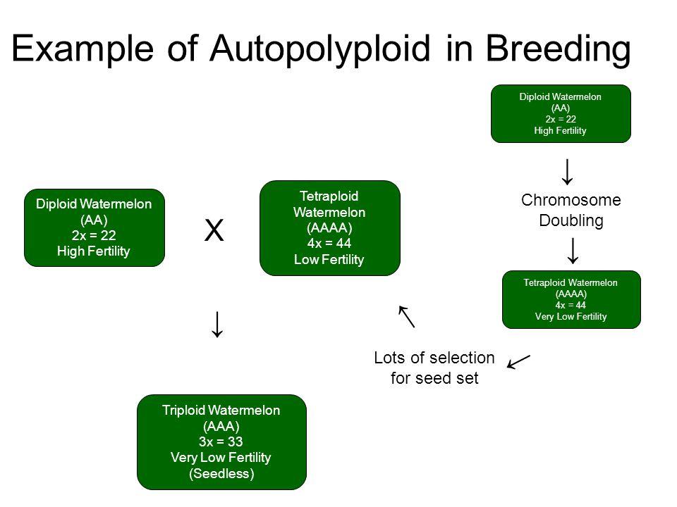 Example of Autopolyploid in Breeding Diploid Watermelon (AA) 2x = 22 High Fertility Tetraploid Watermelon (AAAA) 4x = 44 Low Fertility Triploid Waterm