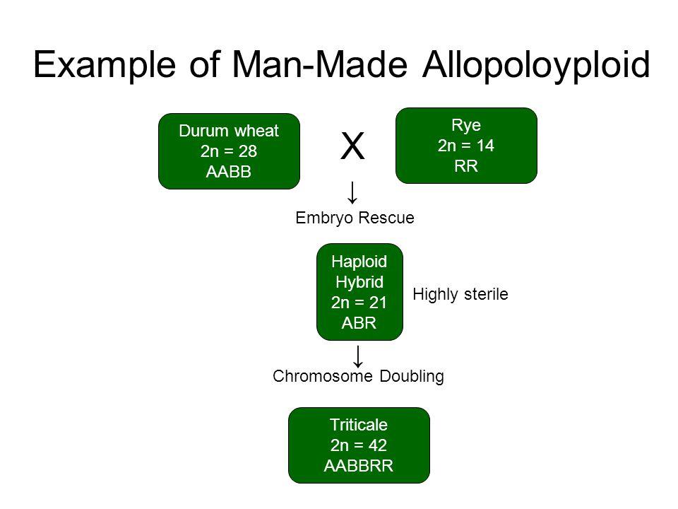 Example of Man-Made Allopoloyploid Durum wheat 2n = 28 AABB Rye 2n = 14 RR Haploid Hybrid 2n = 21 ABR Triticale 2n = 42 AABBRR X Embryo Rescue Chromos
