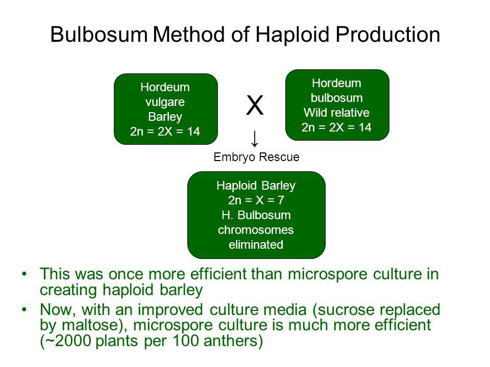 Bulbosum Method of Haploid Production Hordeum vulgare Barley 2n = 2X = 14 Hordeum bulbosum Wild relative 2n = 2X = 14 Haploid Barley 2n = X = 7 H. Bul