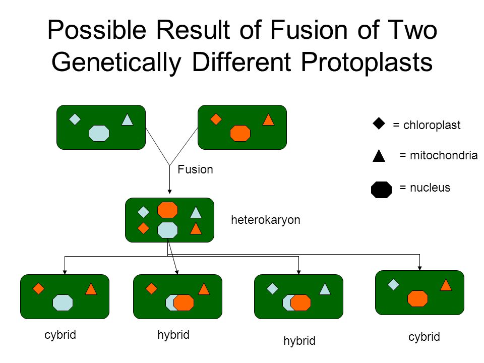 Possible Result of Fusion of Two Genetically Different Protoplasts = chloroplast = mitochondria = nucleus Fusion heterokaryon cybrid hybrid