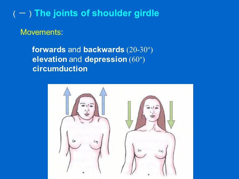 (一) The joints of shoulder girdle Movements: forwards and backwards (20-30 ° ) elevation and depression (60 ° ) circumduction