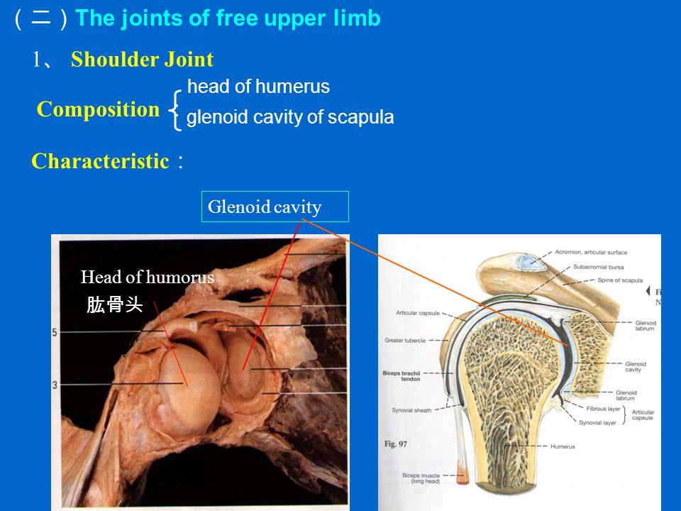 (二) The joints of free upper limb 1 、 Shoulder Joint Glenoid cavity Head of humorus 肱骨头 Characteristic : head of humerus glenoid cavity of scapula Composition :