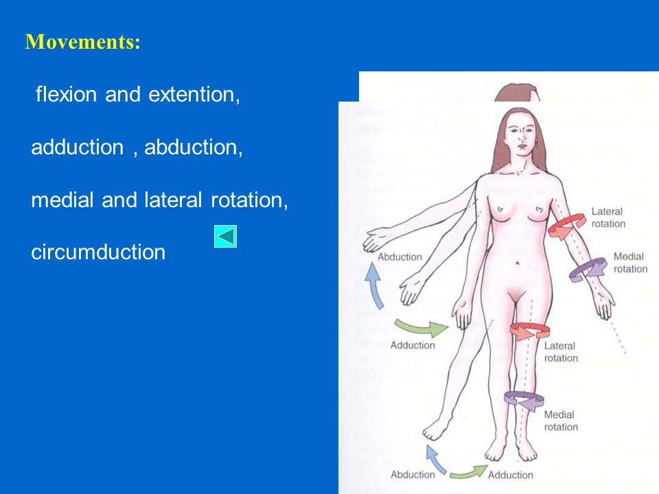 Movements: flexion and extention, adduction, abduction, medial and lateral rotation, circumduction