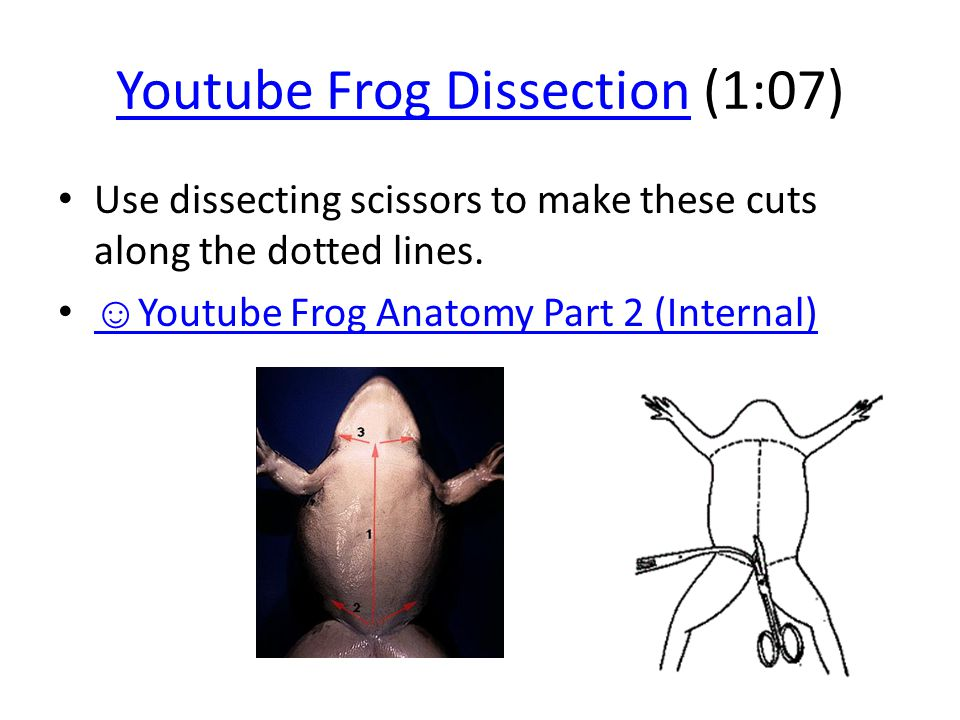 Youtube Frog DissectionYoutube Frog Dissection (1:07) Use dissecting scissors to make these cuts along the dotted lines. ☺ Youtube Frog Anatomy Part 2