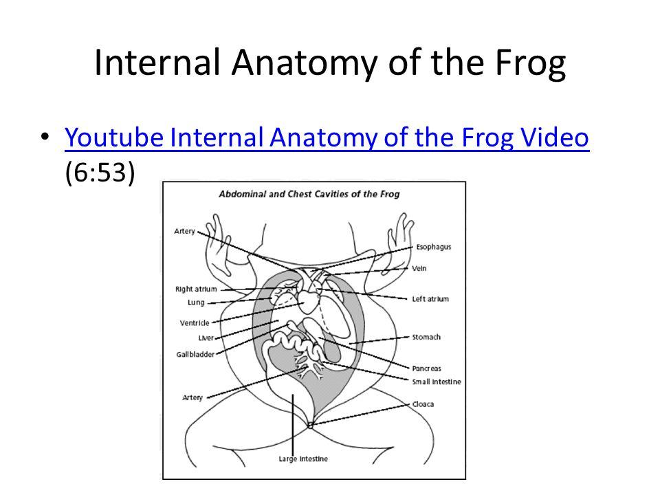 Internal Anatomy of the Frog Youtube Internal Anatomy of the Frog Video (6:53) Youtube Internal Anatomy of the Frog Video