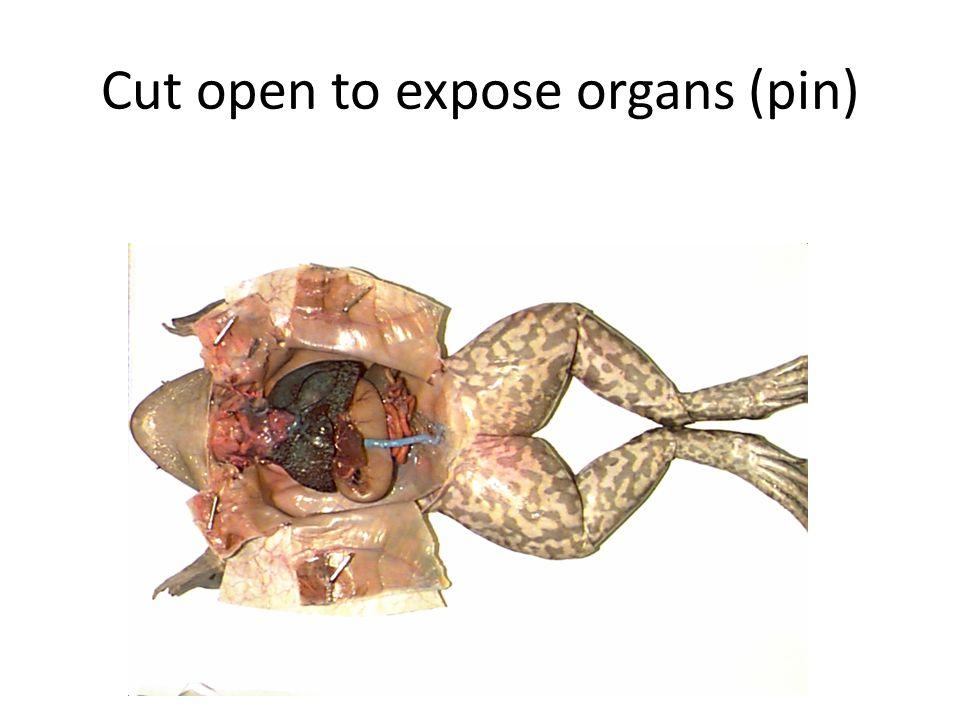 Cut open to expose organs (pin)